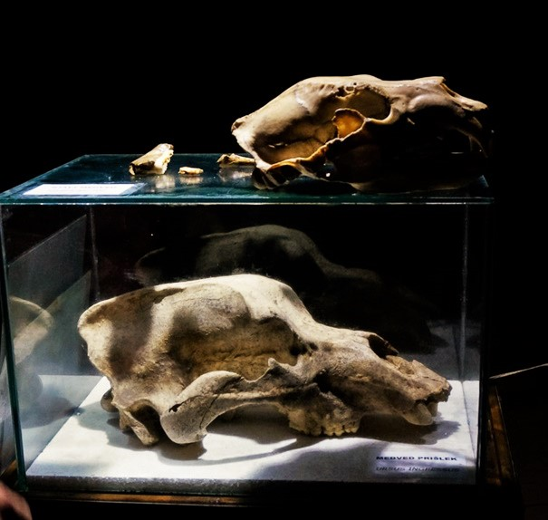 Skull of the cave bear (below) in comparison to today's brown bear (above). Author: Gašper Modic. Source: Križna Cave