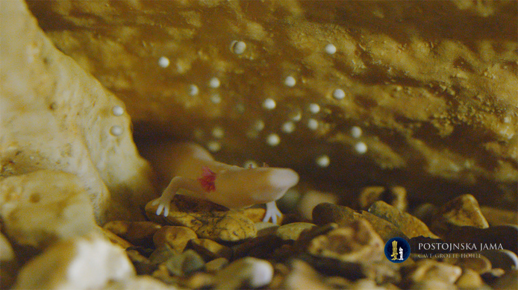 The olm & its eggs. Source: Postojna cave