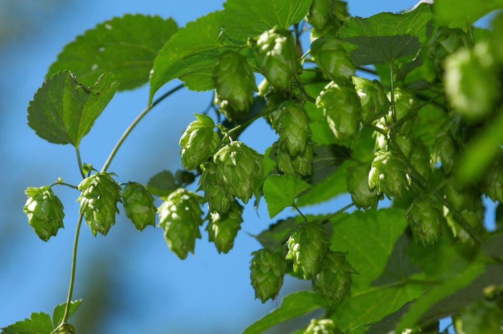 Slovenian hops. Source: Shutterstock